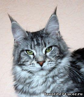 Лучшая кошка монопородного ринга мейн